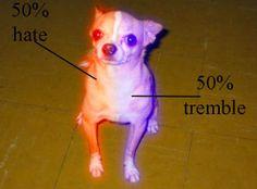 Chihuahuas's anatomy...