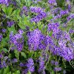Duranta_Erecta_Landscaping_Drought_Tolerant_Resistant