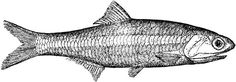 Free Vintage Digital Stamp - Anchovy Fish - FREE Vintage Digital ...