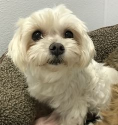 Maltese dog for Adoption in Holden, MO. ADN-451949 on PuppyFinder.com Gender: Female. Age: Adult