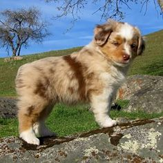 19 Reasons Australian Shepherds Are The Best-Looking Dogs In The World - Aussie Puppies Aussie Puppies, Tiny Puppies, Cute Dogs And Puppies, Baby Dogs, Pet Dogs, Doggies, Mini Aussie Puppy, Maltese Puppies, Teacup Puppies