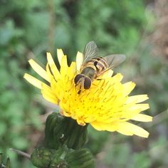 Resting Insects, Bee, Creatures, Plants, Animals, Honey Bees, Animales, Animaux, Bees