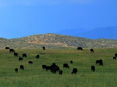 """The Peaceful Pasture"" (Landscape photo by Lin Haring)  Not the image typically conjured when ""Arizona"" is mentioned, here grazing Black Angus cattle languidly dot the landscape in this pastoral scene as a misty rain approaches Peeples Valley, Arizona. See more at: http://lin-haring.artistwebsites.com/"