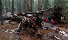 To the editor: Let me make clear the Pioneer Cabin Sequoia was not killed by