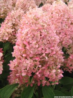 ~Hydrangea paniculata 'Magical Candle' in the pink phase of blooming