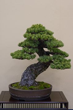 Pine Bonsai, Twisted Trunk style (Nebikan).