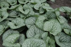 Brunnera macrophylla 'Sea Heart' PPAF | Plants Nouveau thicker foliage and holds up better to heat and humidity.  Blooms two toned pinch and blue.  april-may.  Not affected by foliar nematodes (?)