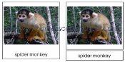 Amazon Rainforest Animals 3 part cards