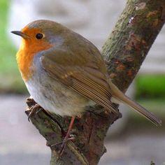 Loves robins