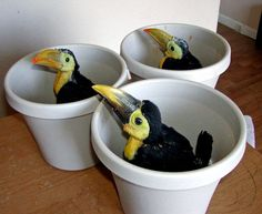 Awwwww, what beautiful little baby toucans~ How precious!