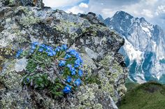 King of the Alps (Eritrichium nanum), Pordoi Pass , Dolomites, Italy by Paul Harcourt Davies