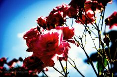 Roses that scratched sunlight - What is reflected here is the rose that scratched the sunlight. It enters between glare light and the camera shaped to obstruct the sunlight. The day when she is transparent from the petal it becomes a refreshing color filter. Natural light shooting.