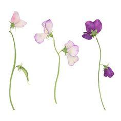 Sweet Pea Flowers by Anne Butera