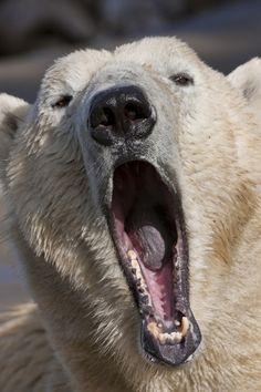 **Polar bear