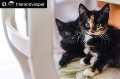 Bu kedicikler de nereden çıktı diyeceksiniz Geçtiğimiz günlerde Lindores Damıtımevi bu 2 muhteşem kediciği resmi damıtımevi kedileri olarak belirledi ve bir isim yarışması açtı. Karşınızda VESPER ve 500 yıl önce Lindores Manastırında viski üreten Friar John Cor'dan esinlenilen FRIAR JOHN CLAW Ayrıntılı hikaye ve diğer ünlü damıtımevi kedileri blogumdaki son yazımda link profilimde Bu arada kedicikler kendi #Instagram hesaplarını açtılar  ve şöhret olma yolunda ilerliyorlar  #distillerycats…