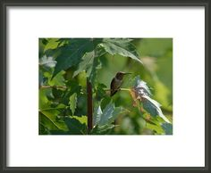 Summer Hummingbird Framed Print By Ps Photography
