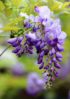 Chinese Wisteria by YoyoFreelance on Flickr.  Found on mistymorningme.tumblr.com
