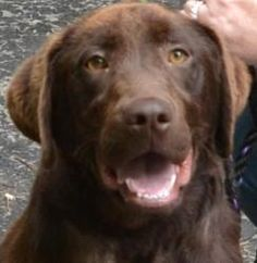 Louie Junior is an adoptable Labrador Retriever Dog in Vandalia, OH. To be considered as a potential adopter you must complete an application. NO EXCEPTIONS !! Email us for an application or informati...