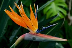 How to Help a Bird of Paradise Flower Bloom