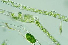 Images and taxonomic descriptions of Spirogyra (Zygnemataceae, Zygnematales, Gamophyceae, Chloropphyta)