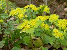 Lepiklill - salumetsade taim. Chrysosplenium alternifolium L.