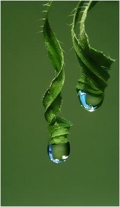 water droplets in tendrils Dew Drops, Rain Drops, Drip Drop, Fotografia Macro, Water Droplets, Shades Of Green, Color Shades, Amazing Nature, Belle Photo