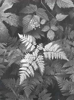 Ansel Adams Photography - Ansel Adams ( 1902 - 1984 ) More At FOSTERGINGER @ Pinterest