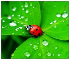 lucky ladybird on a shamrock