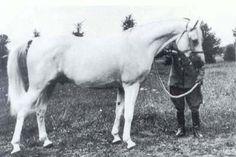 Enwer Bey (Abu Mlech x Koalicja), 1923 grey stallion. Sire of Halef (x Kasztelanka), Taraszcza (x Gazella II), Trypolis (x Kahira), and many others.