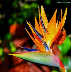 Bird of Paradise (Stelitzia reginae), also known as crane flowers, is one of the most beautiful of all exotic flowers.