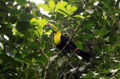 tortuguero national park attraction keel billed toucan   - Costa Rica