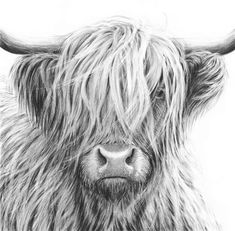 Nolon Stacey is a pencil artist specialising in detailed drawings of British wildlife, dogs and farm animals. Highland Cow Painting, Highland Cow Art, Scottish Highland Cow, Highland Cattle, Animal Paintings, Animal Drawings, Highland Cow Tattoo, Cow Drawing, Fluffy Cows