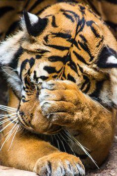 Shy Tiger by Patrick Strock