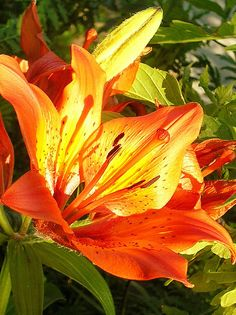 Tiger Lilies - the only flower my dad every really cared for. When we buy a home, I will plant these :)