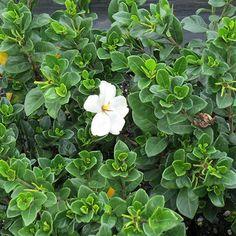 gardenia Fragrant