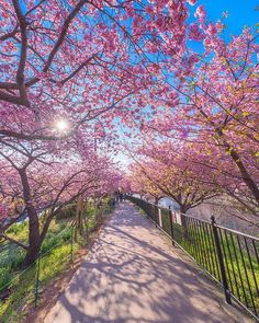 Spring has arrived early in the Eastern Japanese town of Kawazu. The small town, located just outside of Tokyo, is famous for their 8000 cherry blossom trees that bloom early every year. Cute Wallpaper Backgrounds, Nature Wallpaper, Cherry Blossom Japan, Cherry Blossoms, Flowering Cherry Tree, Blossom Trees, Landscape Photos, Trees To Plant, Cool Pictures