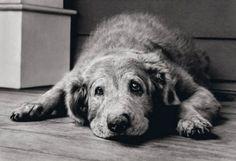 Esqueça aquela regra de 'multiplicar o número de anos do cachorro por sete' - a ciência ainda não sabe exatamente como medir a idade dos cachorros