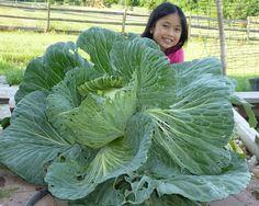 Cabbage Seeds, Timeline Photos, Type 1, Gardening, Facebook, Vegetables, Big, Plants, Lawn And Garden