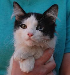 Logan is an intelligent, discerning baby boy ready for adoption at Nevada SPCA (www.nevadaspca.org).  He is a spunky boy, one eye blue and the other dark hazel, about 5 months of age and neutered.  Logan loves playing with other cats.  Please kitten-proof your home for his safety.