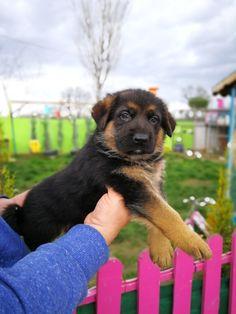 Satılık Alman kurdu yavrusu #alman #kurt #almankurdu #yavruköpek #köpek #dog #yavruköpek #satılıkköpek #köpekyavrusu #hayvan