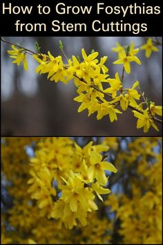 How to Grow Forsythias from Stem Cuttings  Greet your garden with the cheerful color of yellow by reviving forsythias through this method.