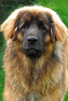 Leonberger -   MY Aunt has one of these - Amazing dogs