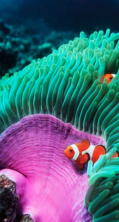False clown anemonefish (Amphiprion ocellaris) sheltering in anemone Photo by Georgette Douwma on Getty Images