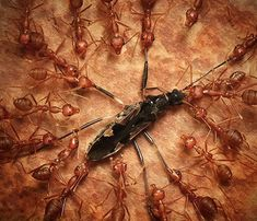 Ants tear apart the carcase of another insect. Thank you Andiyan Lutfi athttp://creativefan.com/30-superb-macro-photographs/