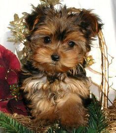 Yorkshire Terrier customer comments about our Yorkie puppies for sale - . - Yorkshire Terrier customer comments about our Yorkie puppies for sale – - Yorkie Puppy For Sale, Puppies For Sale, Cute Puppies, Cute Dogs, Dogs And Puppies, Yorkie Puppies, Doggies, Chien Yorkshire Terrier, Yorshire Terrier