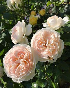 薔薇に蜂が…�� * * #熱海  #アカオハーブローズガーデン  #アカオハーブアンドローズガーデン  #ローズガーデン #rosegarden #2015世界バラ会議優秀庭園賞受賞  #ローズ #rose #バラ #薔薇 #ばら #デルフィニウム #blue  #gardening #ガーデニング #ガーデン#flower_photo #flower  #flowers #flowerstagram  #花のある暮らし#花のある生活  #flowerpower #instapic #instagram  #instagramjapan #instagood #flowerslovers http://gelinshop.com/ipost/1521376034817383464/?code=BUdA3FtFRwo