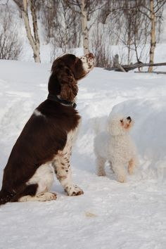 Billy Waiting for a treat with friend Nanzy, Hemsedal, Norway English Springer Spaniel, Norway, Waiting, Dogs, Animals, Animales, Animaux, Doggies, Animal