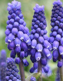 Grape Hyacinth (Muscari) - Muscari armeniacum