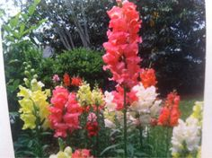 """Snapdragon (antirrhinum majus): Popular as plants for sunny areas of the garden, with lance-shaped foliage and clusters of flowers on spikes with 5 lobes, divided into upper and lower """"jaws."""" If you pinch the sides of the flower, it will make the """"jaws"""" open, or snap. There are many varieties, but most will continue to bloom until the weather becomes hot. Although they are mostly treated as annuals, snapdragons will winter over and last another year, and may even reseed."""