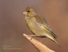Greenfinch by Miv. @go4fotos
